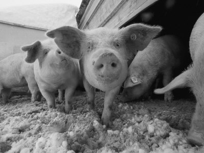 Young-pigs-in-a-snowy-pen
