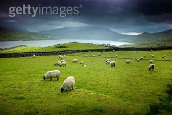 Irishsheep