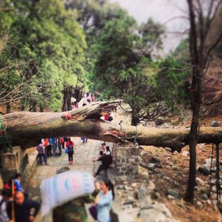 Ancient Trees of Mt Tai